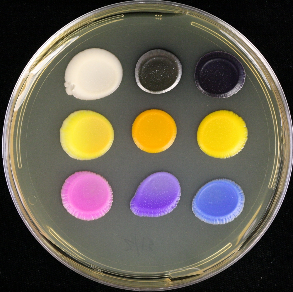 Various yeast colors in our palette. From left to right: white (wild type yeast with our selective marker), gray (violacein), black (violacein), light yellow (beta-carotene), dark orange (beta-carotene), light orange/dark yellow (beta-carotene), pink (RFP), purple (amilCP from coral), blue (anemone gene). Yeast pigments curtesy of Leslie Mitchell, James Chuang, Jasmine Temple, and Michael Shen.