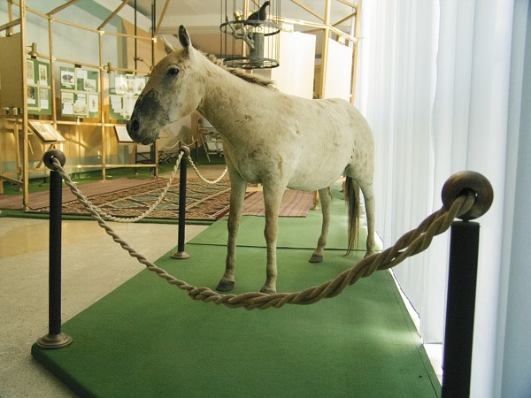 Przhevalsky horse (can be found in Karakol zoo)