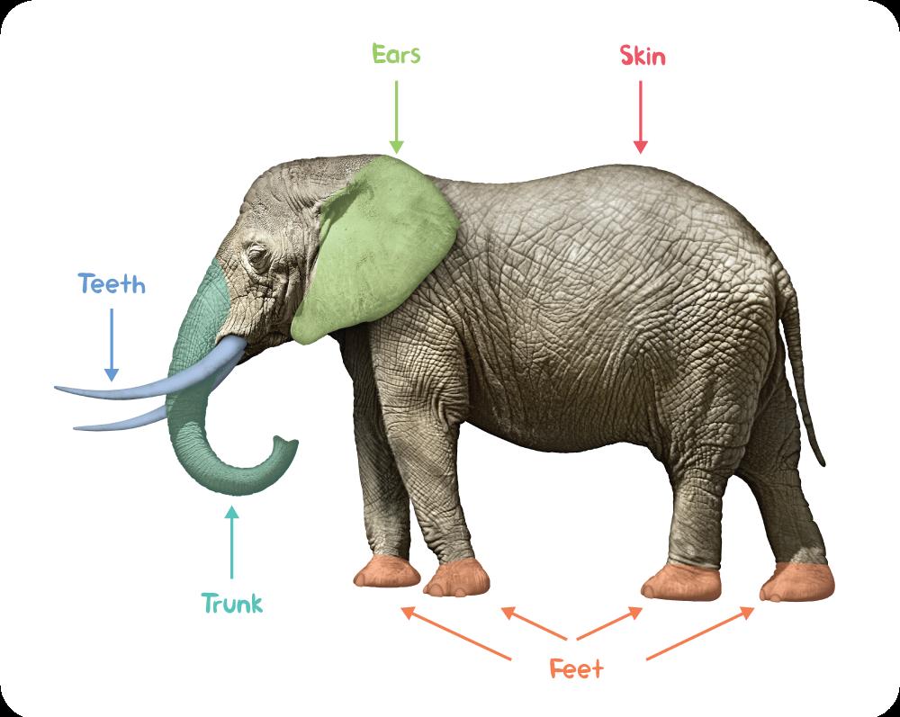 Elephant-anatomy.png