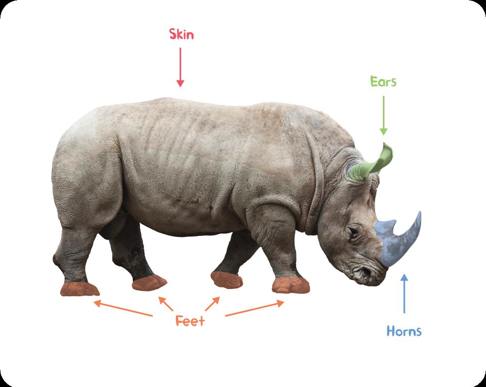 Rhino-anatomy.png