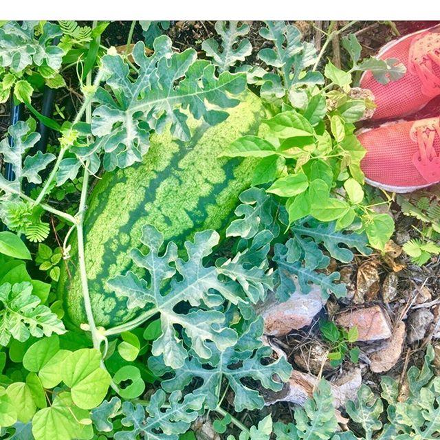 En SANAM protegemos el medio ambiente y la calidad de los suelos evitando los monocultivos. Aquí se ve una cobertura hecha con sandía. En nuestro blog de hoy escribimos 10 razones para decir NO a los monocultivos. . . . . . #monocropping #nomonocroppinghere #soil #organic #moringa #moringaoleifera #agriculture #sustentable #sustentabilidadeambiental