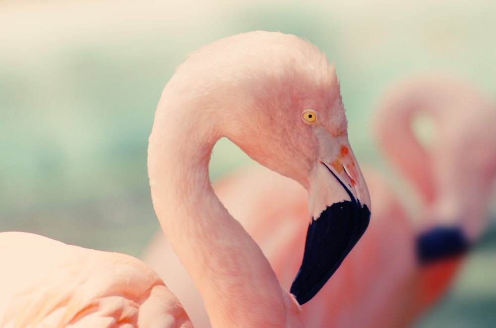 Image of a Pink Flamingo
