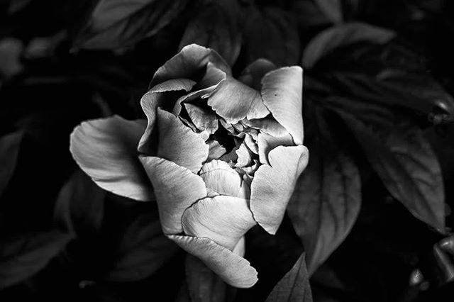 Peony number 2! 🌹 #photography #bloomingintherough #bloom #peony #peonies #flower #artistsofinstagram #blackandwhite #blackandwhitephotography