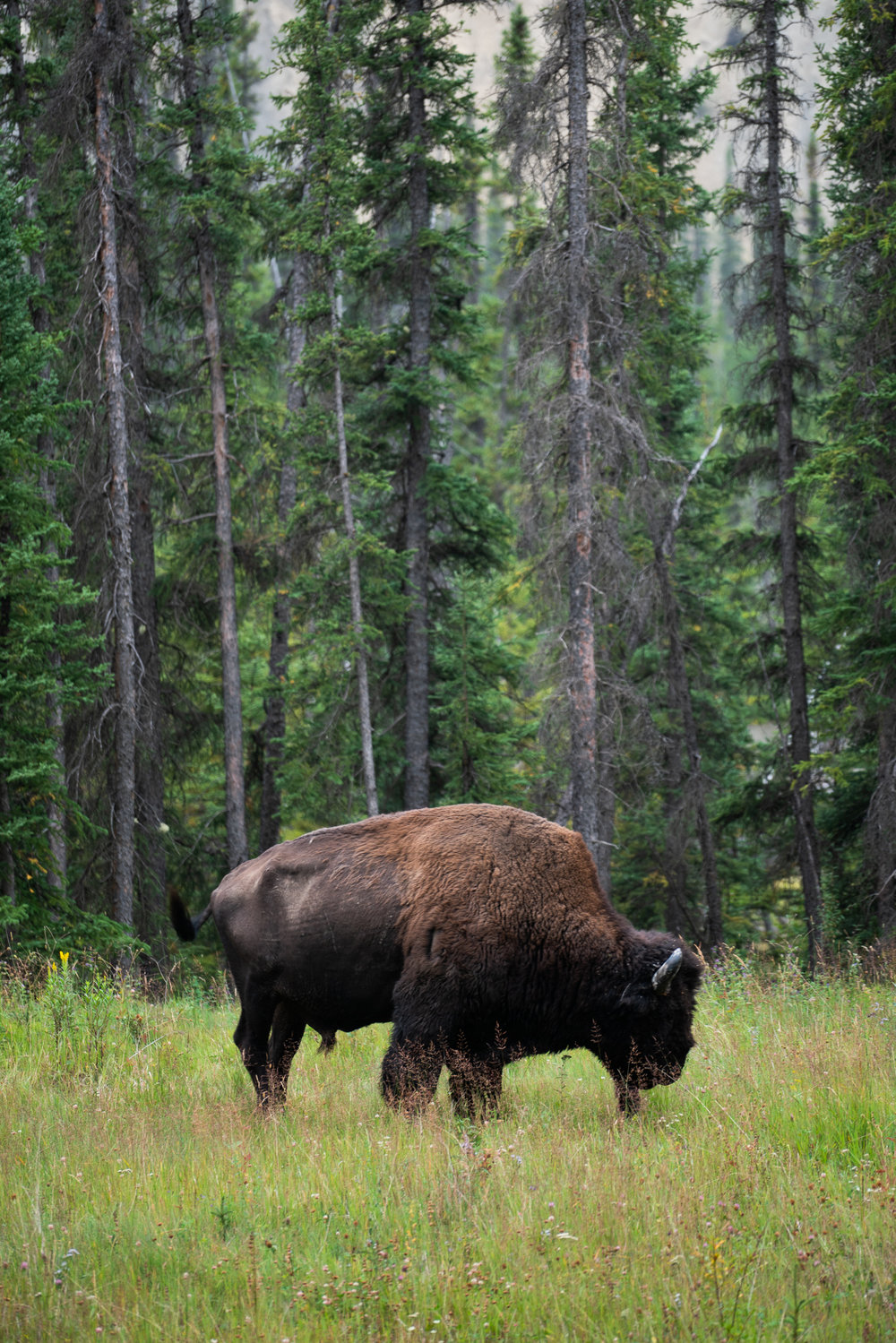 Bison, Northern Rockies