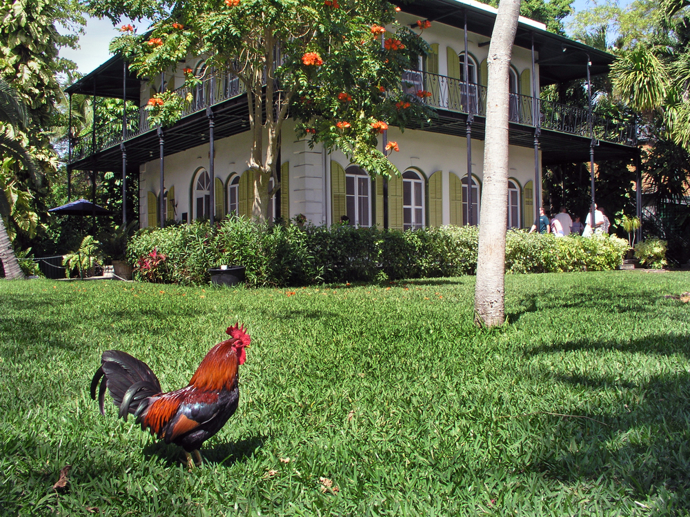 Rooster at Hemingway House, Key West, Florida