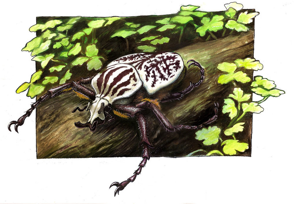GOLIATHUS-Watercolor on poster board. Illustration of the largest insect in the world, the Goliath beetle.