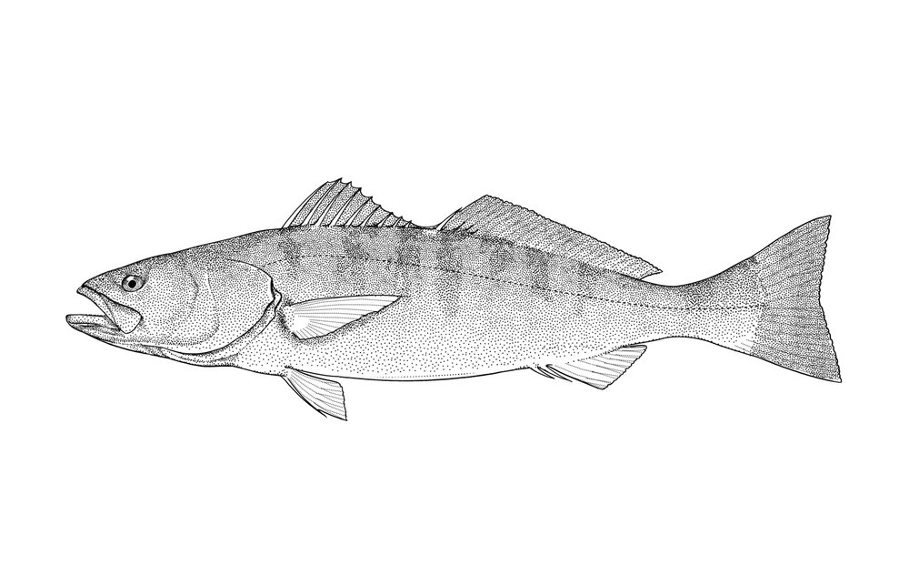 White Seabass