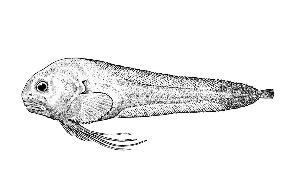Humpback Snailfish