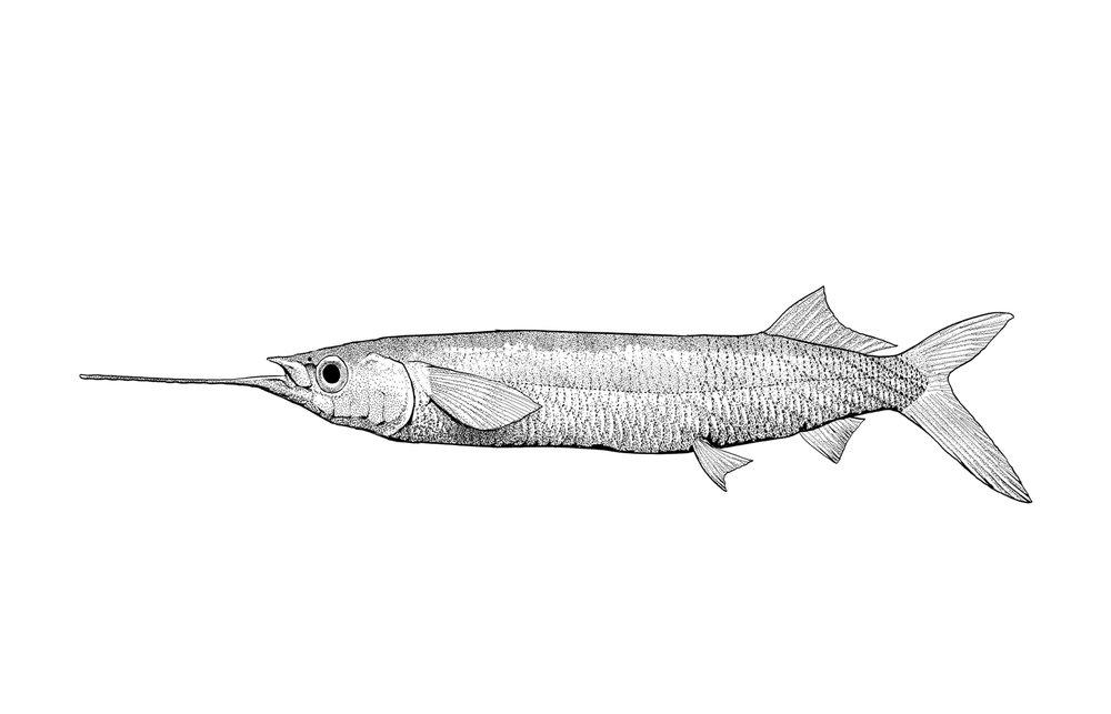 Longfin Halfbeak