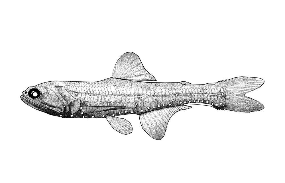 Slender Lanternfish