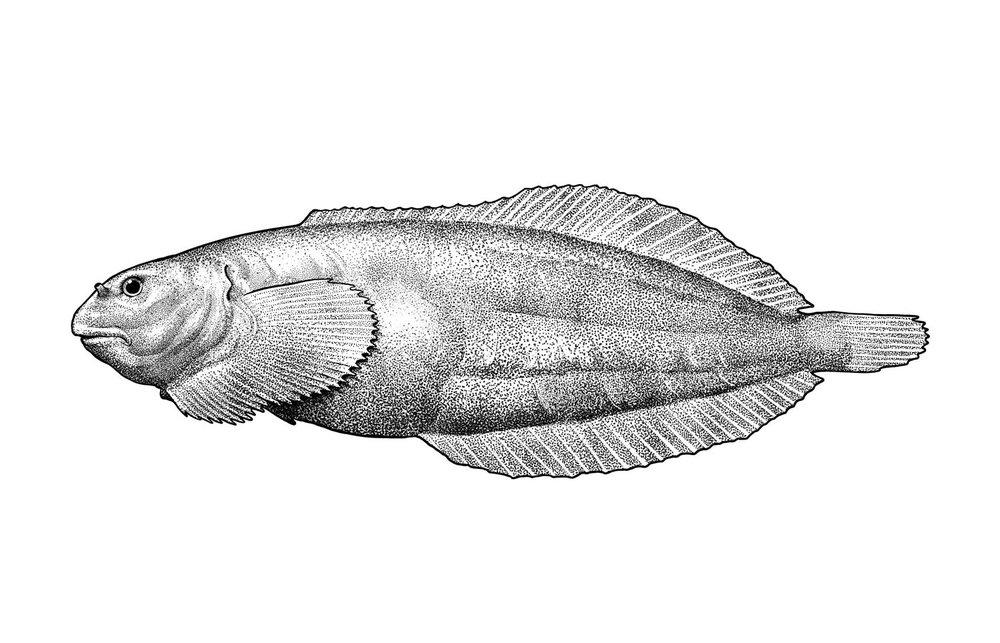 Rosybrown Snailfish