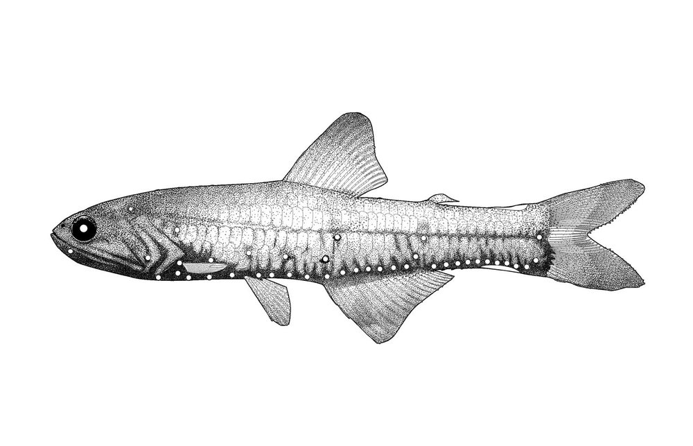 Broadfin Lampfish