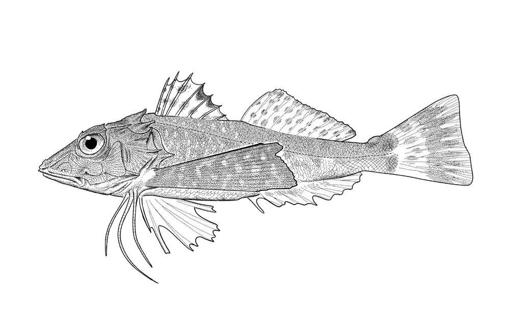 Lumptail Searobin