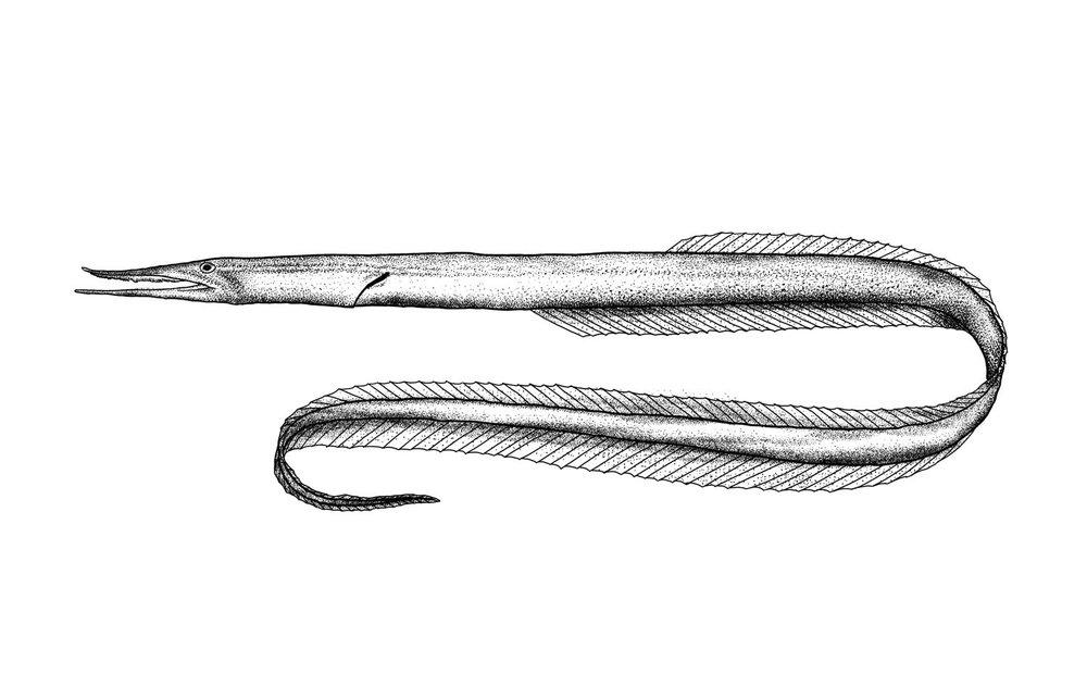 Sawtooth Eel