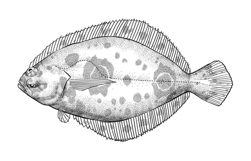 Fantail Sole