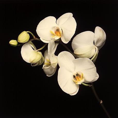 Orchids, Mapplethorpe, 1989. #MondayFloralinspo