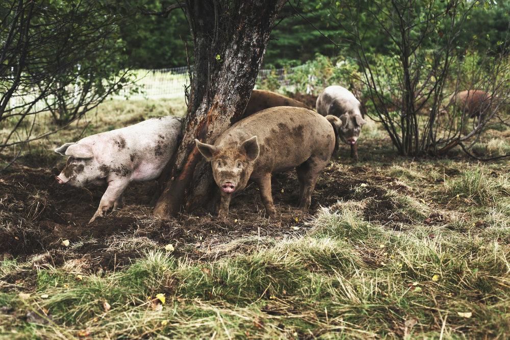 High Ridge Farm Pastured Pork