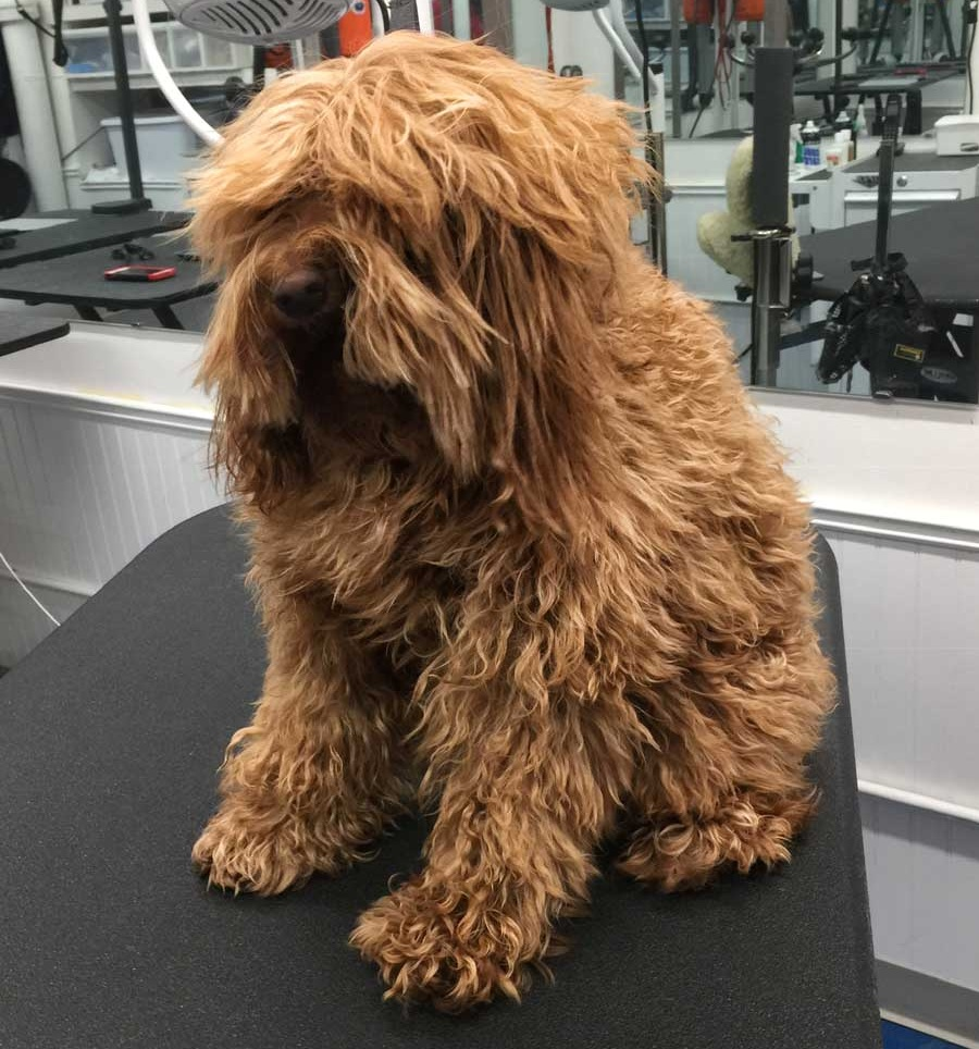 This goldendoodle's coat is excessively tangled
