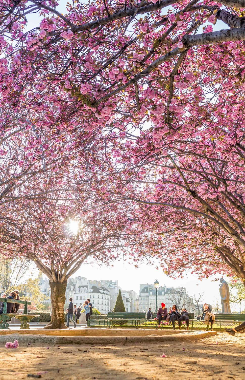 cherry-blossom-notre-dame.jpg