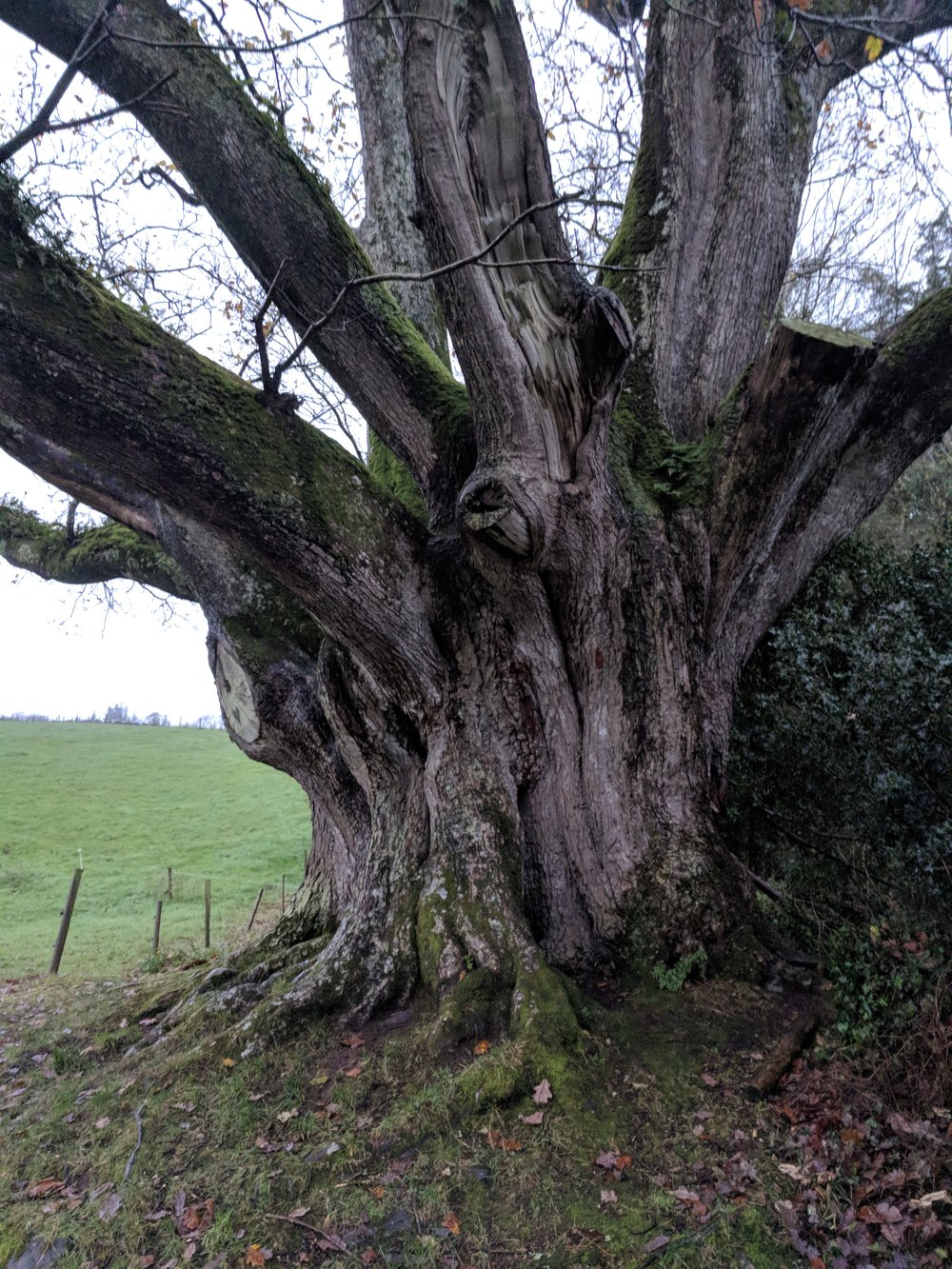 Brian Ború oak in County Clare