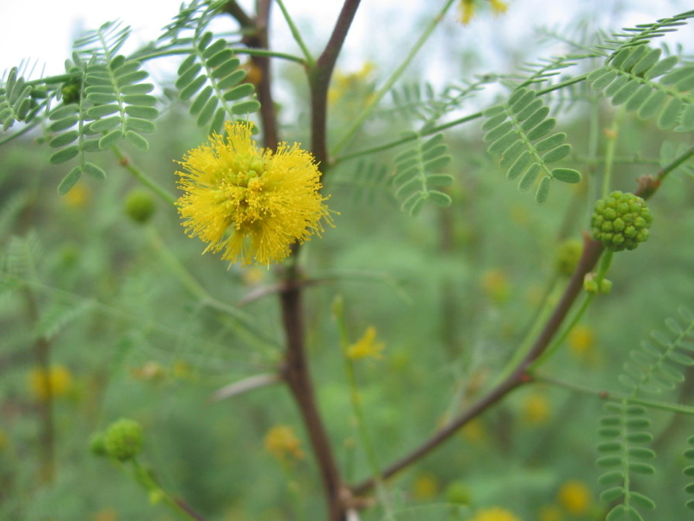 Whitethorn Acacia in flower