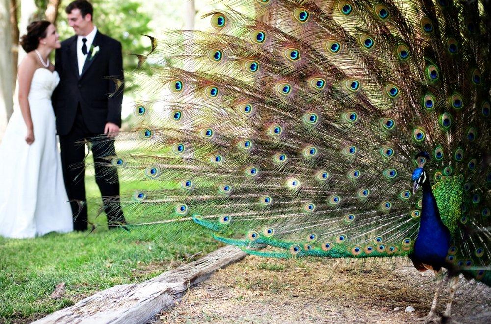 Peacock Marketing -Wedding.jpg