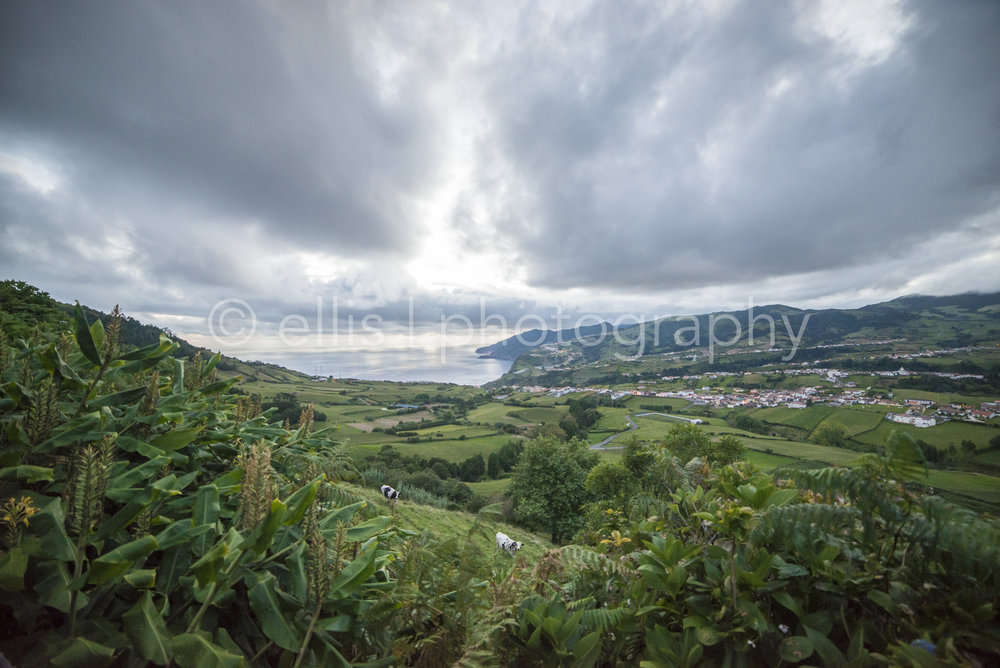 Look out over the city of Faia da Terra. Cows looking up in the green fields of Sao Miguel. Wideangle shot with a dramatic sky. Ellis Photograhpy