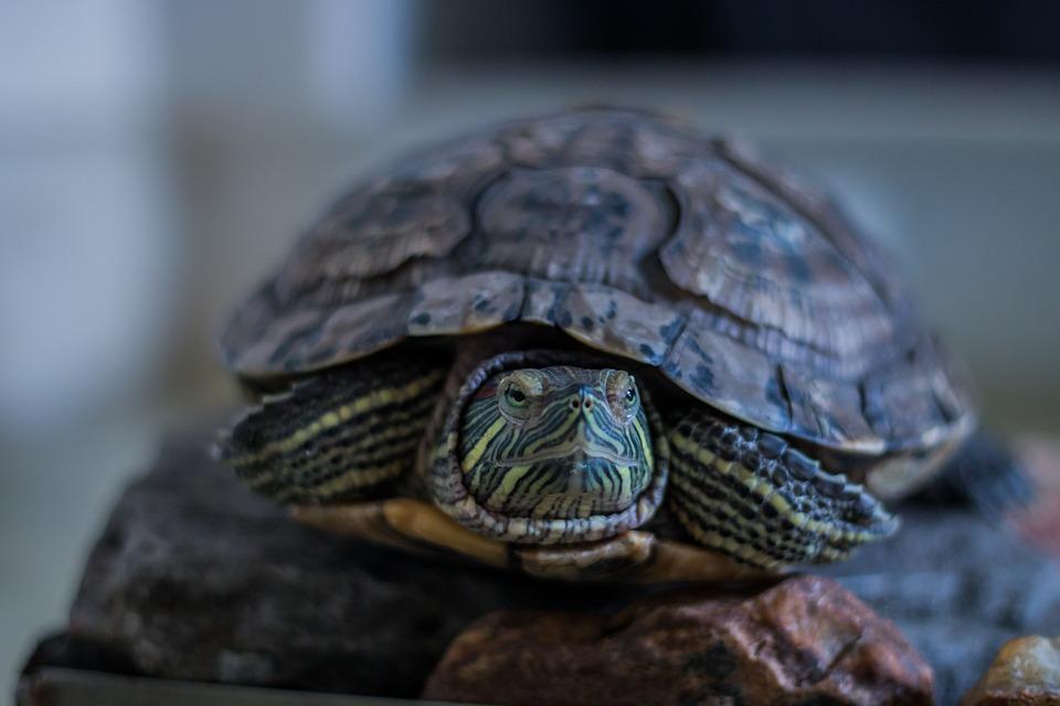 Tortoise-Turtle-Animal-Red-Eared-Slider-Amphibian-2292314 (1).jpg