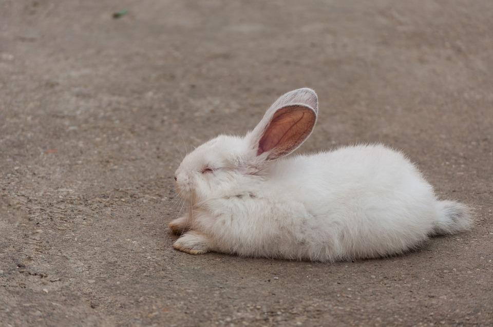 White-Rabbit-Sleep-905971.jpg