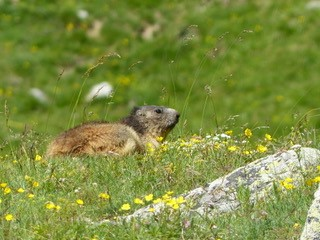 Marmot at the top of the Alpette lift close to the chalet. There is a wealth of flora and fauna to be seen while out hiking and cycling in the summer months.