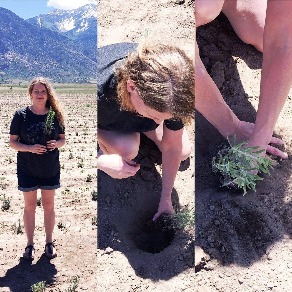 planting lavender.jpg