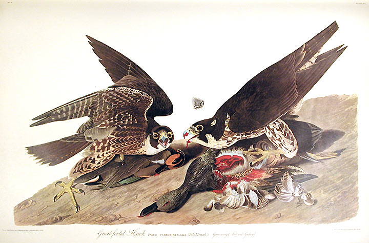 Audubon Hawk.jpg