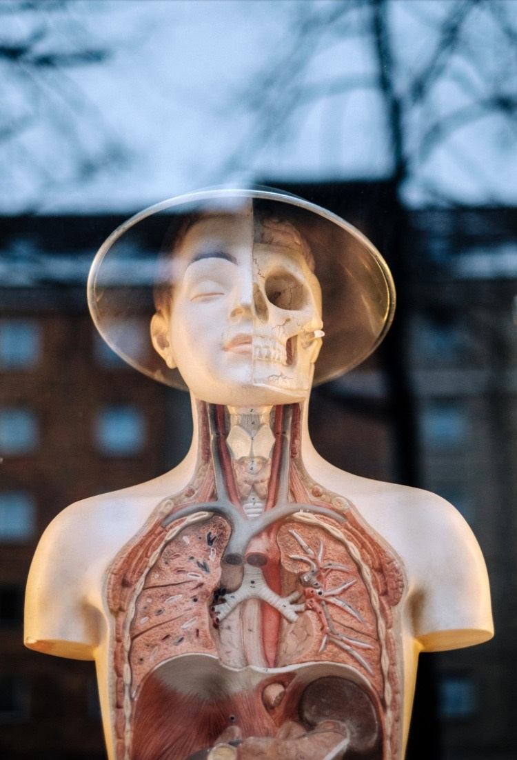 Photo of a human mannequin with cross sections of the chest and face taken through a window.