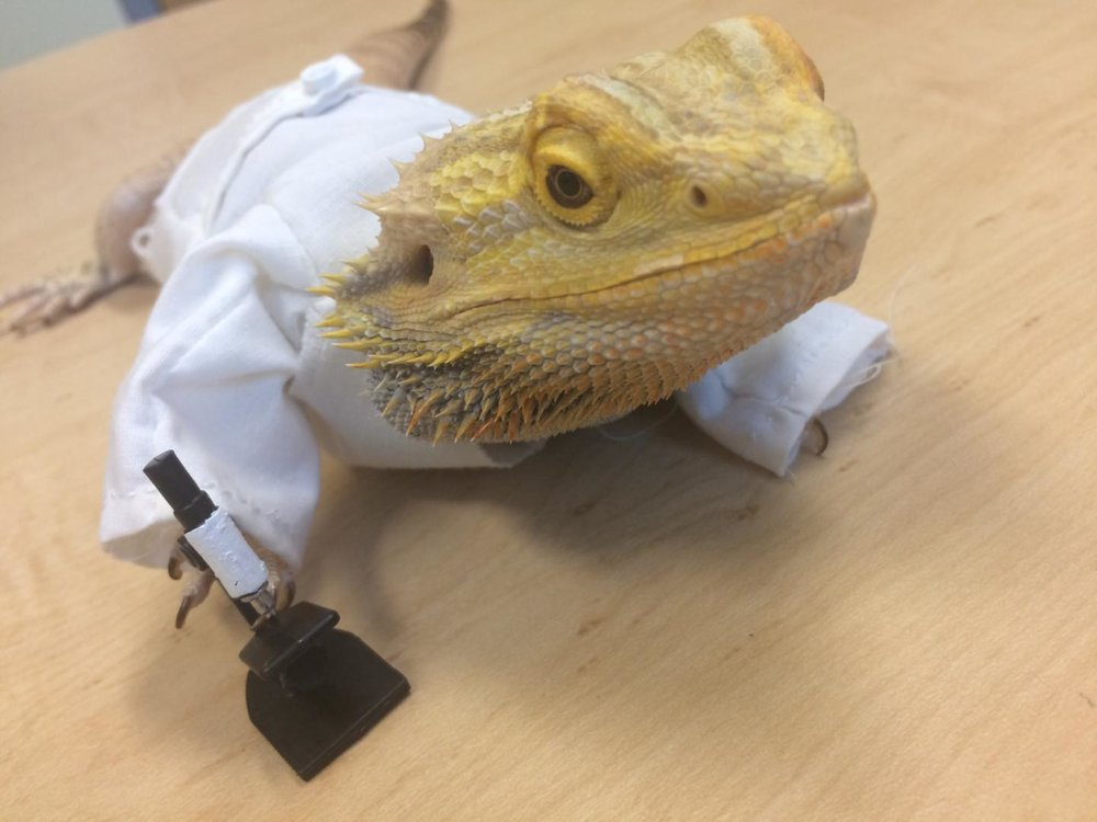 Sebastian – Nicole's Bearded Dragon – styling in his custom-made lab coat, complete with tiny microscope.