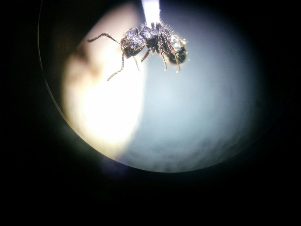 An ant species from the tropics of Mexico.