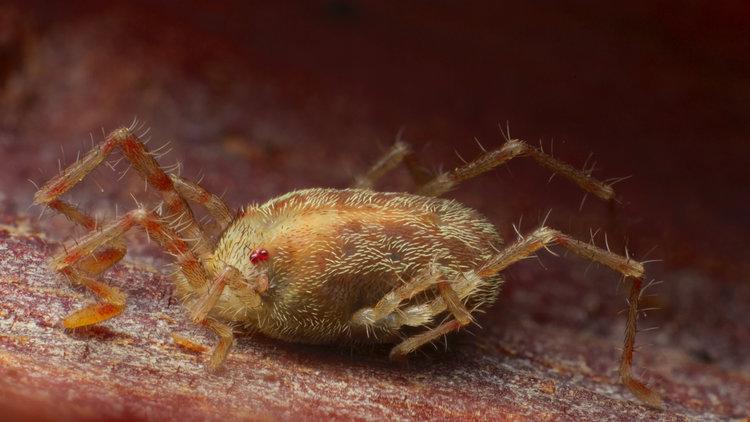 Erythaeidae, a type of prostig mite. Photo by  Andy Murray