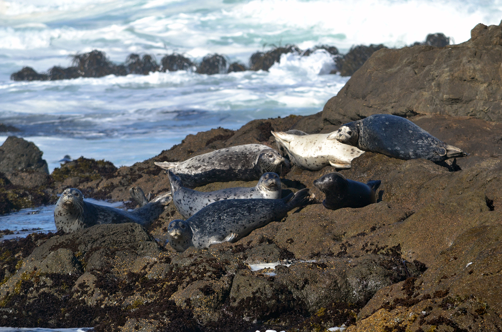 MORE+SEALS+IN+MENDOCINO.jpg