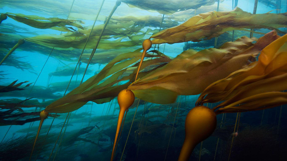A-bull-kelp - Web.jpg