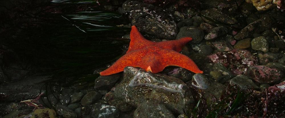 Tidepool-Starfish.jpg