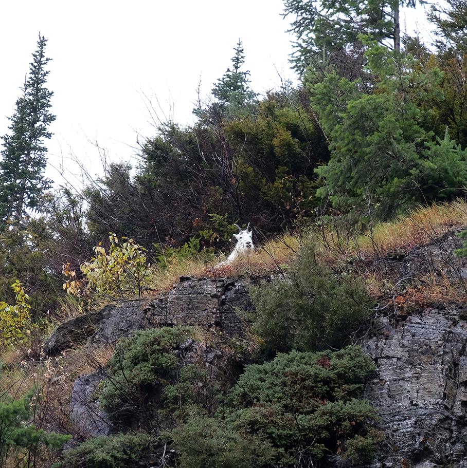 montana-gnp-mountaingoat-DSCF6209-sm.jpg