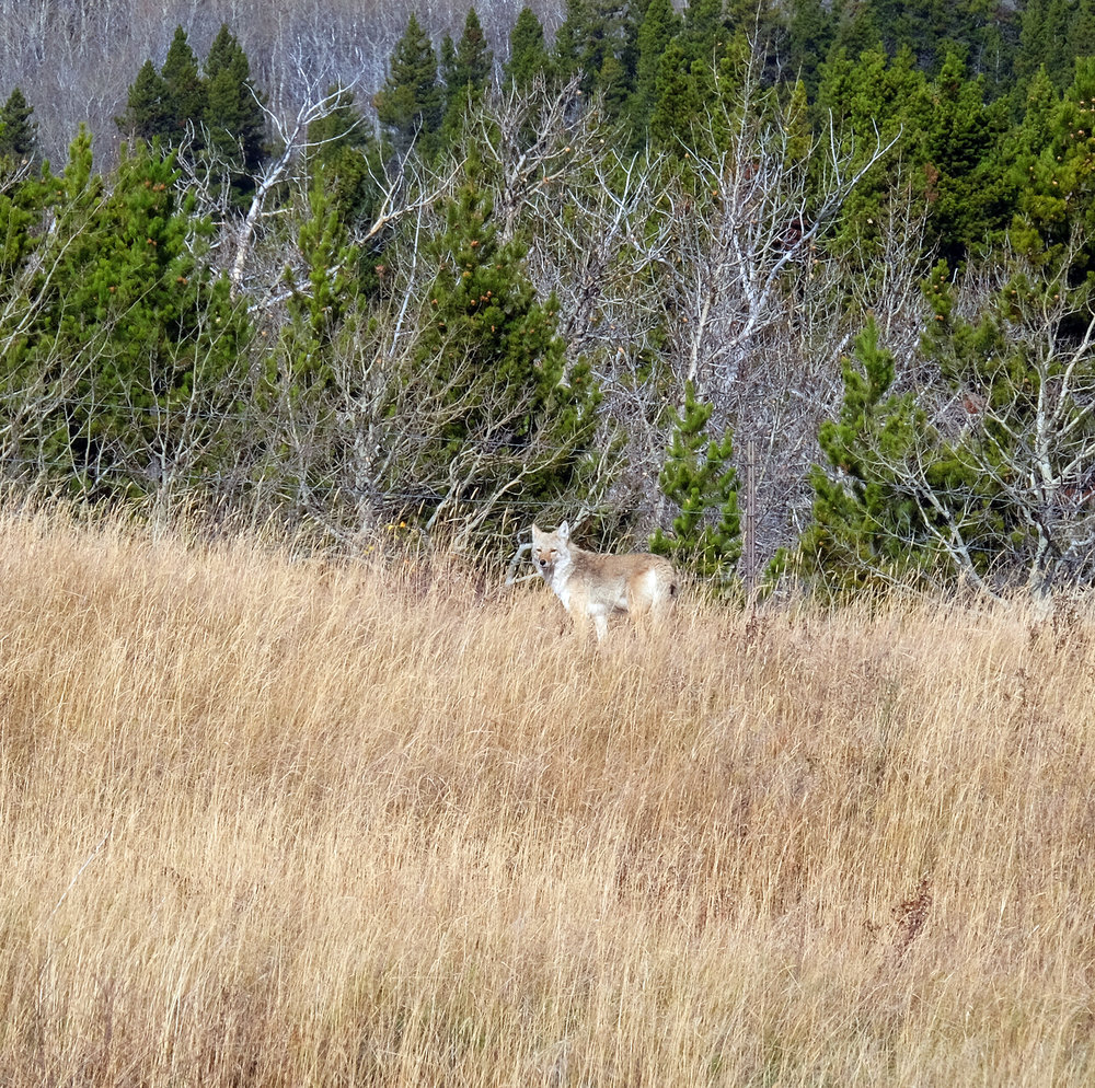 montana-gnp-hwy2-coyote-DSCF5674-sm.jpg
