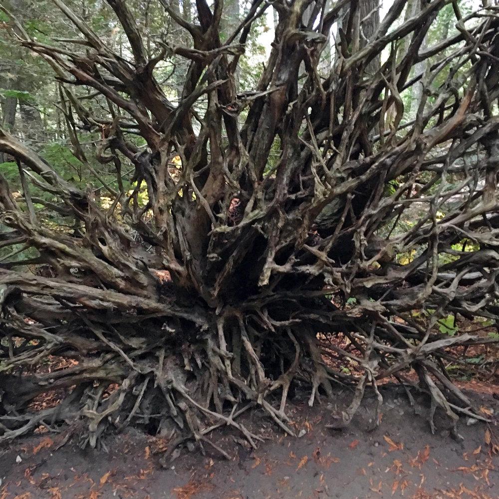 montana-gnp-roots-sm.jpg