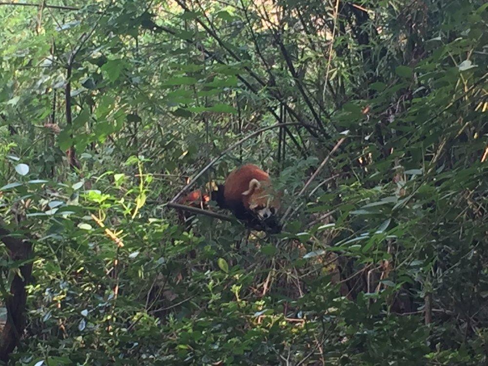 Red pandas too!