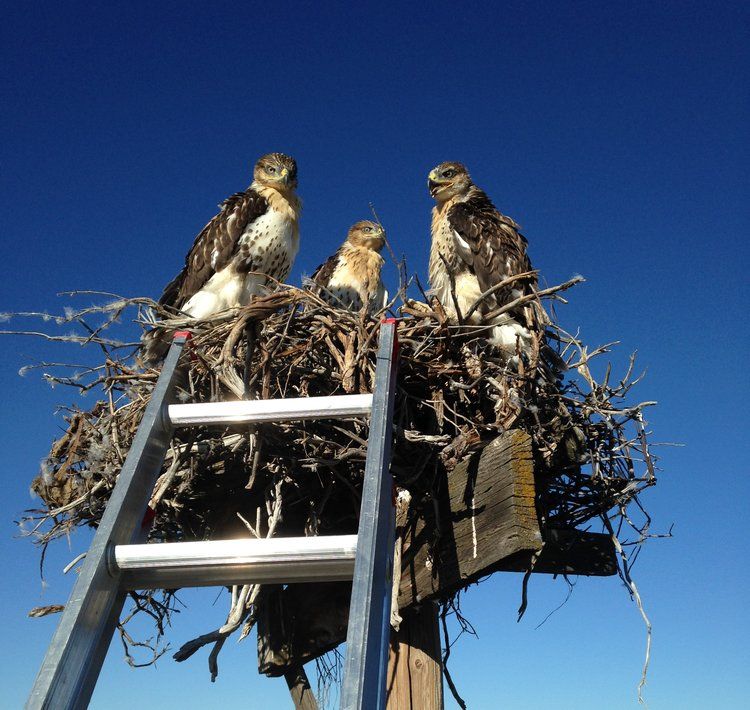ferruginous_hawk_nest.jpg