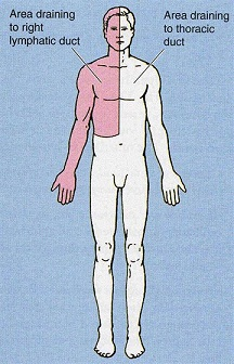 thoracic-right-lymphatic-duct