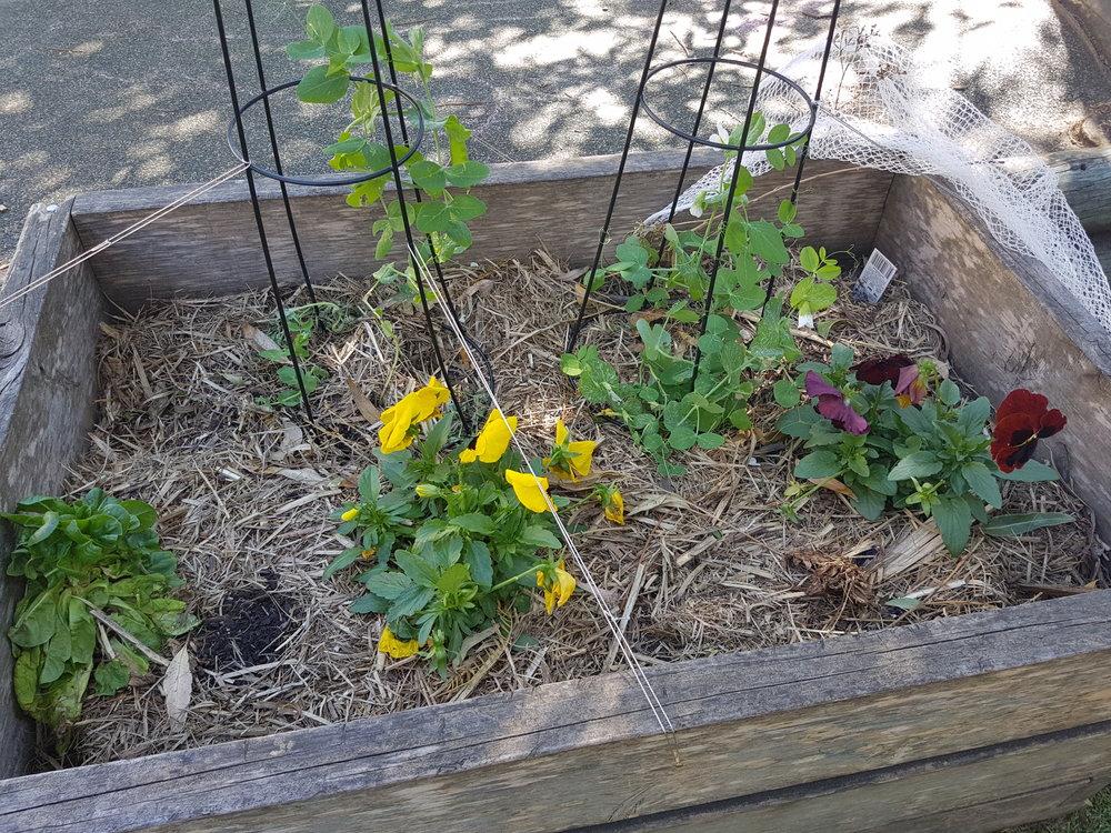 Vegetable Garden update - October 2016 (5).jpg