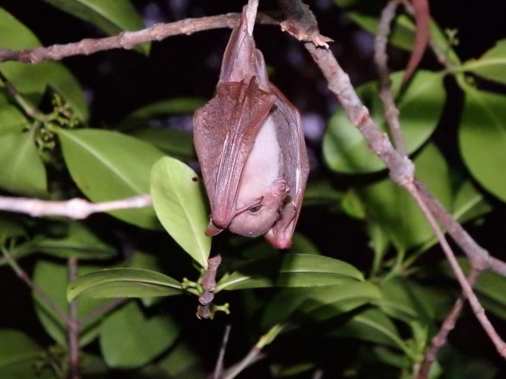 Long-tongued nectar bat Macroglossus minimus.Diverse Ecology