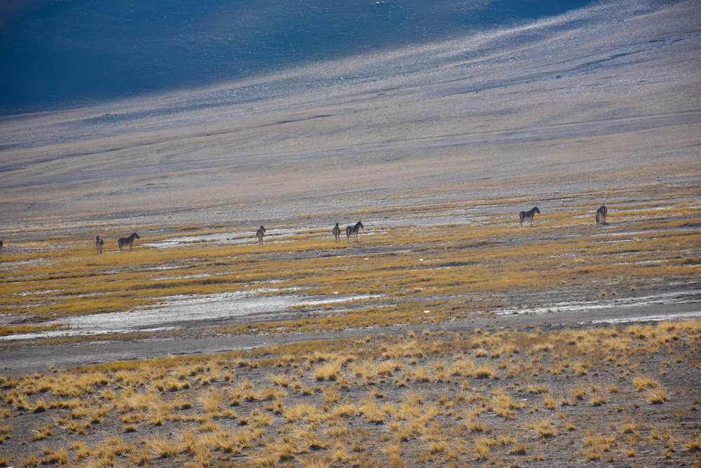 Wild horses in Ladakh, across the Indian Himalayas.
