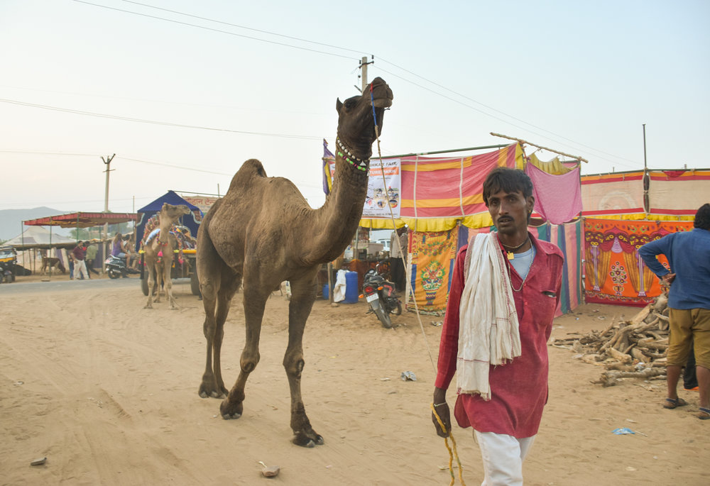 A camel walks with its owner. Almost all camels left in the world are now domesticated. Credit: Angie Davis
