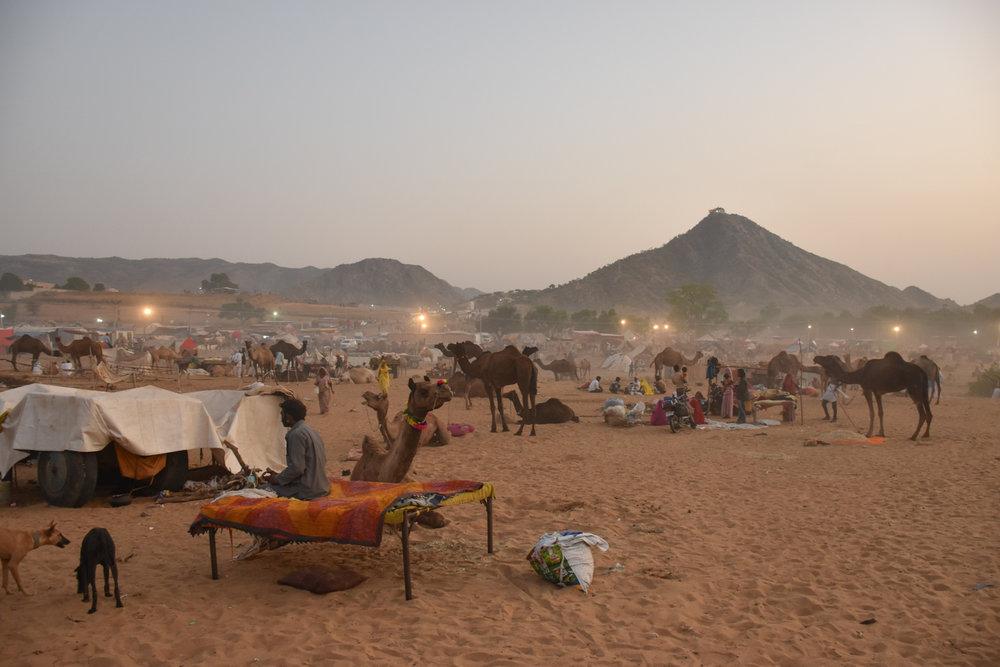 camels_desert_india